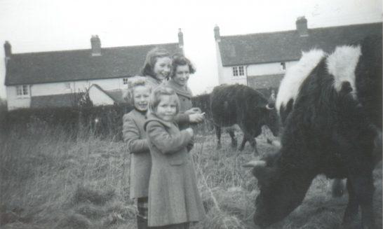 Cattle grazing in Cedar Road