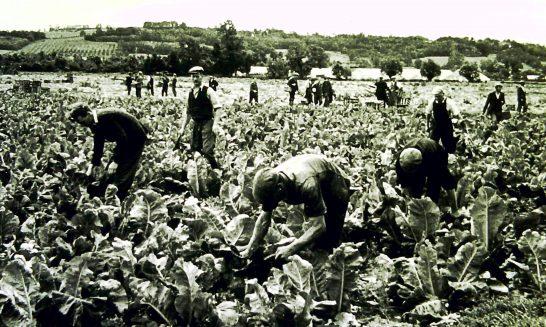 Cutting outdoor cauliflowers