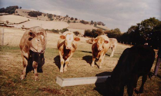 Beggar's Barn:  Charolais cattle