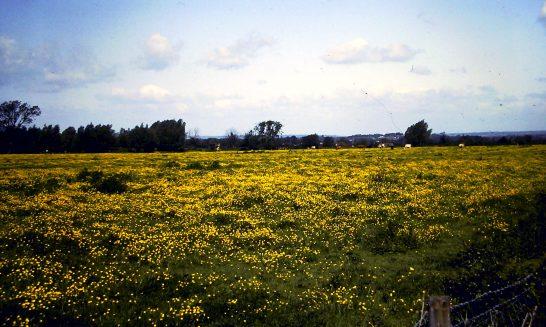 Buttercups in Twelve Acre Field, 1993